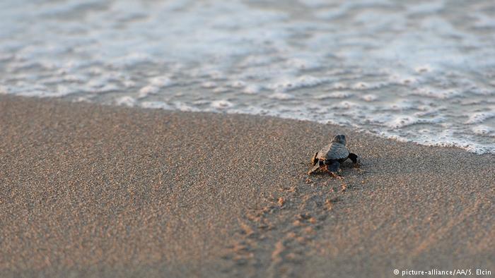 Threatened loggerhead sea turtles nest at numerous sites along the Mediterranean coast